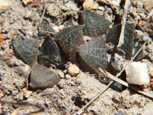 Fig. 16 7914 H. mirabilis