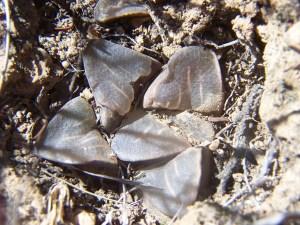 Fig. 198 7801 H. mutica 'groenewaldii'.