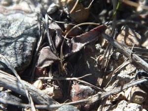 Fig. 284 7910 H. floribunda.