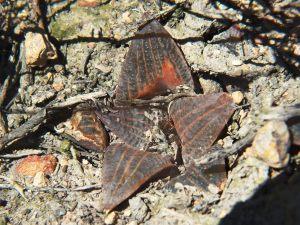 Fig. 293 7912 H. mirabilis.