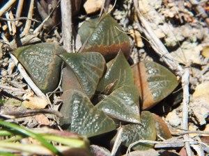 Fig. 316 7913 H. mirabilis.