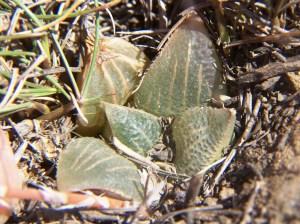 Fig. 36 6666 H. retusa 'nigra'