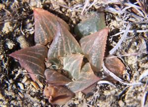 Fig. 42 6666 H. retusa 'nigra'