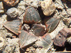Fig. 5 7914 H. mirabilis