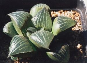 Fig. 56 6666 H. retusa 'nigra'