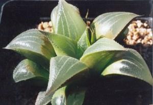 Fig. 57 6666 H. retusa 'nigra'
