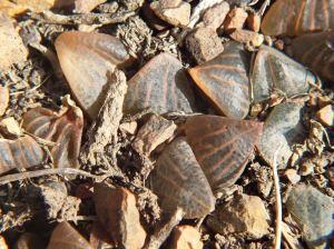 Fig. 66 7917 H. mirabilis.