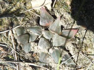 Fig. 9 7899 H. mirabilis