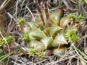 Fig. 9 H. retusa 'nigra', Heuningklip