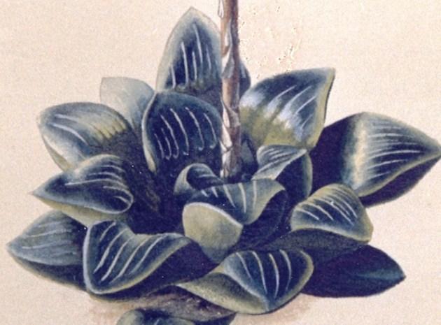 Fig. 1 H. mutica. Kew herbarium.  The type.