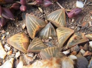 Fig. 110 7967 Spitzkop (quartz rock)