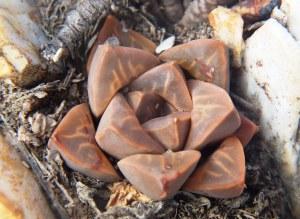 Fig. 119 7967 Spitzkop (quartz rock)