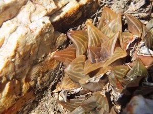 Fig. 121 7967 Spitzkop (quartz rock)