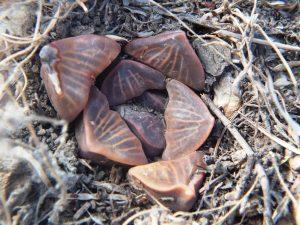 Fig. 128 7967 Spitzkop (quartz rock)