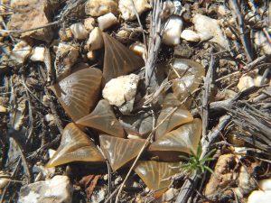 Fig. 132 7967 Spitzkop (quartz rock)