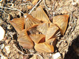 Fig. 136 7967 Spitzkop (quartz rock)