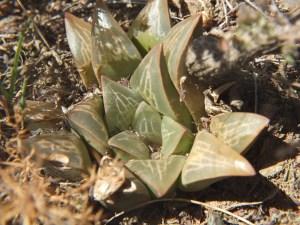 Fig. 140 7967 Spitzkop (quartz rock)