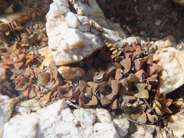 Fig. 143 7967 Sptitzkop (quartz rock)