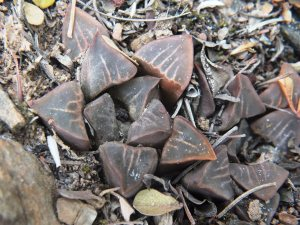Fig. 60 7945 SE Klipbankskloof