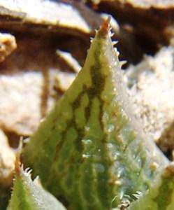 maculata + 004 - leaf face