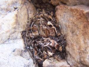 7865 H. cf. arachnoidea.  Keurkloof, SE Dedooorns 001