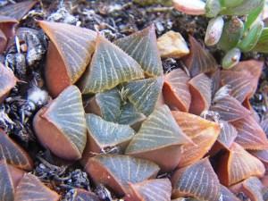 Fig. 6 7778 H. mirabilis 'vernalis' resembling plants at Kruisriver. Komserante 4900