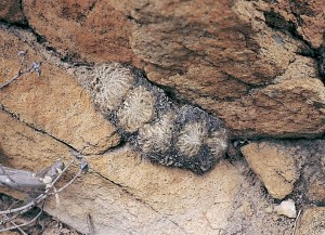 Haworthia arachnoidea var. aranea JDV97/108 north of Schoemanspoort.  The accumulation of old black leaves is very characteristic.