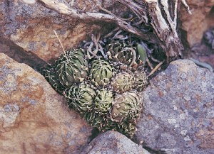 Haworthia arachnoidea var. nigricans JDV south of Calitzdorp.  In close proximity to H. mucronata var. rycroftiana,