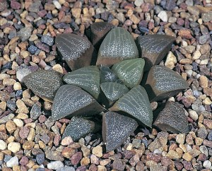 Haworthia Bateri JDV91/152 De Rust.  At the western end of the range the plants tend to be more scabrid.