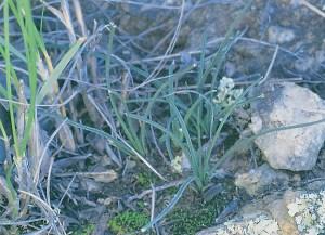 Haworthia blackburniae var. graminifolia JDV97/107 Schoemanspoort. Plants may be solitary or clump-forming.