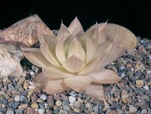 Haworthia cymbiformis var. cymbiformis JDV92/89 Kleinmond. Can have remarkable colours under stress.