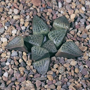 Haworthia emelyae var. comptoniana JDV90/8 Georgida. Recorded only from one population and severely threatened by collectors.
