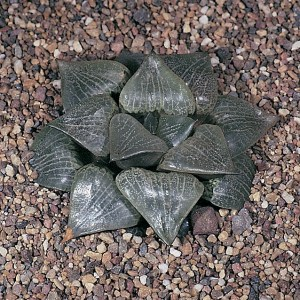 Haworthia emelyae var. comptoniana KG114/72 Georgida. The reticulation and relative length of the leaves are quite variable.