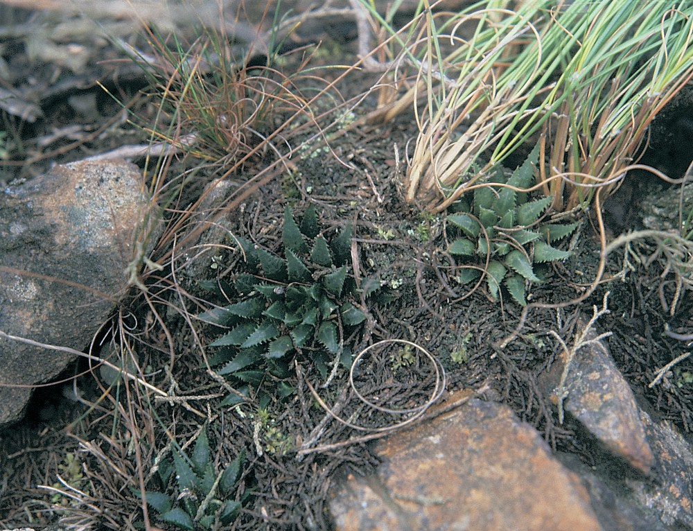 Haworthia heidelbergensis var. scabra JDV87/4 east of Drew. Less translucent and the leaves are a little more rigid and scabrid than the other varieties.