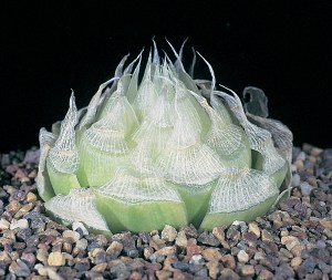 Haworthia Lockwoodii JDV90/88 south-east of Laingsburg. The leaves are flattish and are not keeled.