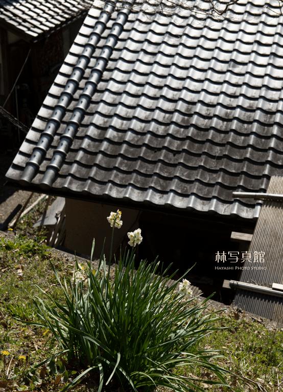 屋根 | スイセン