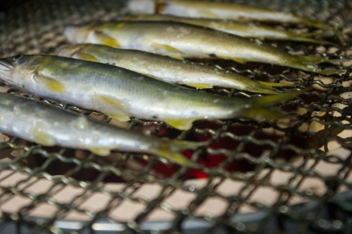 捕った鮎を七輪で塩焼き