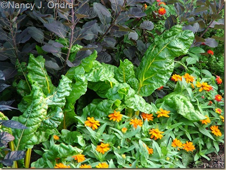 Chard Bright Lights Zinnia Profusion Orange Cotinus Royal Purple July 30 08