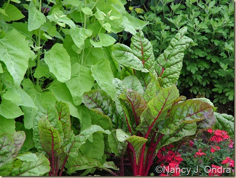 Rhubarb chard Atriplex Golden Verbena Lanai Red II early July 05