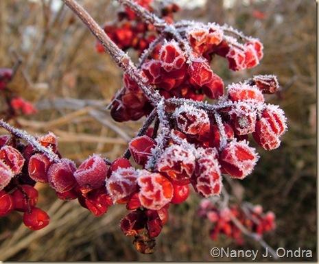 Viburnum trilobum Red Wing Nov 7 09