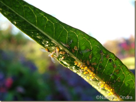 Orange aphids on Asclepias