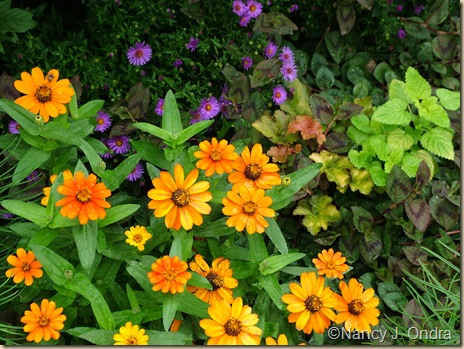 Zinnia Profusion Orange Aster Wood's Purple Melissa All Gold mid Sept 06