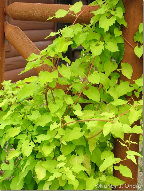 'Lemon Lace' silver fleece vine (Fallopia baldschuanica)  June 24 06