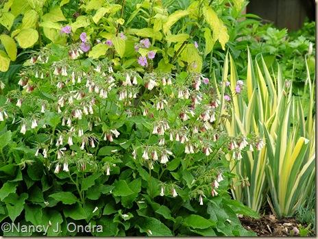 Dwarf comfrey (Symphytum grandiflorum) May 20 07