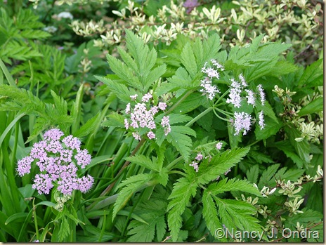 Chaerophyllum hirsutum 'Roseum' April 20 10