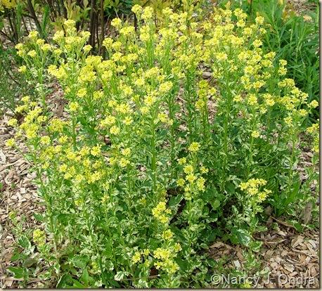 Barbarea vulgaris 'Winter Cream' ('Variegata') May 9 10