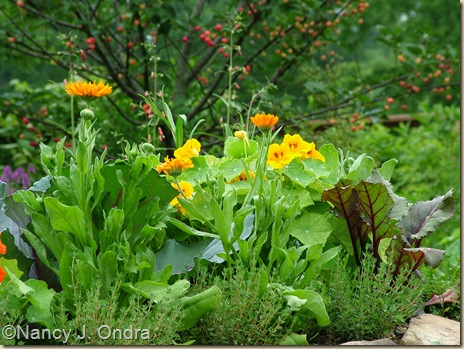 Tropaeulum majus 'Jewel Mix' Calendula 'Radio' Beet 'Bull's Blood' Thymus vulgaris