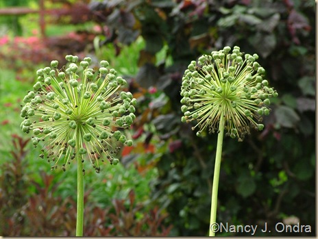 Allium 'Mount Everest' Corylus avellana 'Red Majestic'