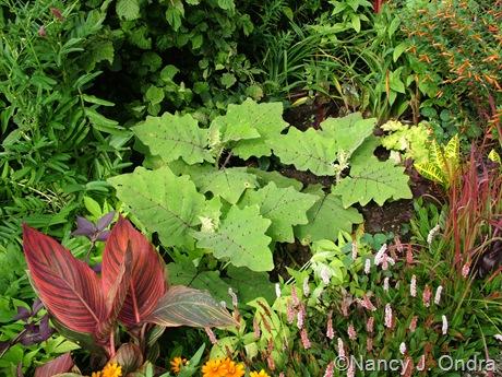 Solanum quitoense seedlings late August 10