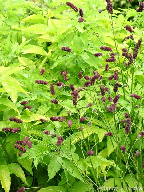 Sanguisorba tenuifolia and Sambucus nigra 'Aurea' Aug 14 10